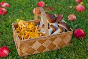 natur, kantareller, karl-johan svamp, svampkorg
